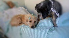 Dos perros leales pasaron días y noches fuera del hospital, esperando a que su dueño volviera