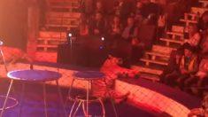 Tigre de un circo sufre dramáticas convulsiones seguidas de rigidez frente al público