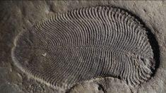 Descubren al animal más antiguo del planeta, que vivió hace 558 millones de años
