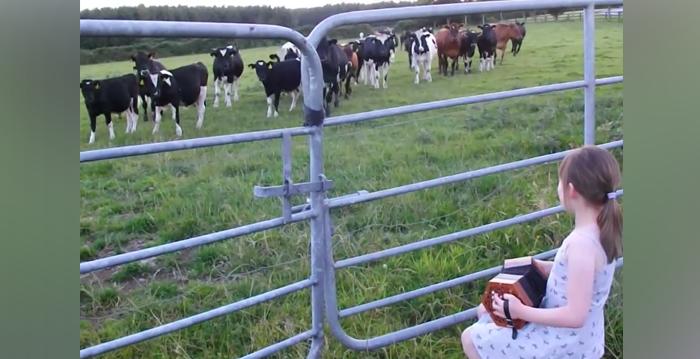 Como si fuera una encantadora de vacas, esta niña atrae a todo un rebaño con su bella melodía
