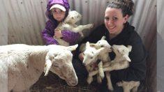 Cuando todo parecía perdido para esta oveja embarazada, el milagro de la vida llega por 4