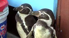 Así rescataron a dos pingüinitos de Humbolt desamparados de una acequia en el interior de Perú