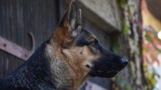 Este perro protege a su amo de un robo como un gran héroe y sobrevive a 4 disparos