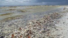 Tóxica marea roja persiste en ambas costas de la península de Florida