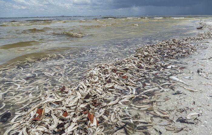 Cierran playas de Miami ante la presencia confirmada de la marea roja La marea roja es un fenómeno, natural y cíclico que se ha extendido en la costa oeste más de lo normal, desde noviembre de 2017, según las autoridades, con el consecuente efecto negativo en los comercios locales que dependen del turismo. EFE/Archivo
