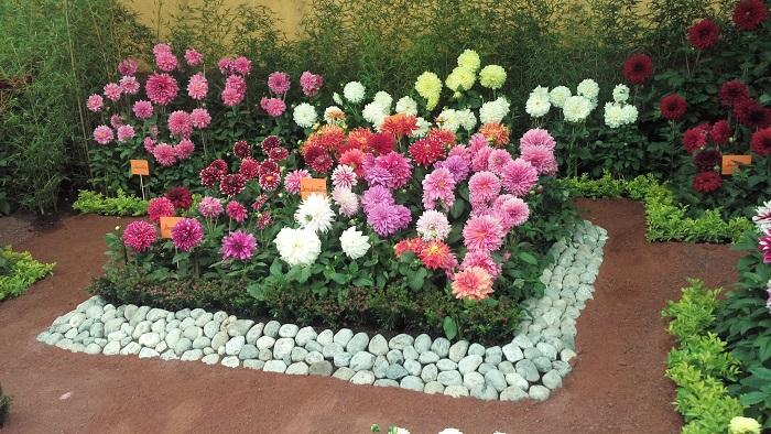 Fotografía cedida por la Asociación Mexicana de la Dalia con fecha del 5 de octubre de 2018 que muestra flores dalia, en un invernadero en Ciudad de México (México). EFE/Cortesía Asociación Mexicana de la Dalia o Acocoxochitl, A.C/SOLO USO EDITORIAL