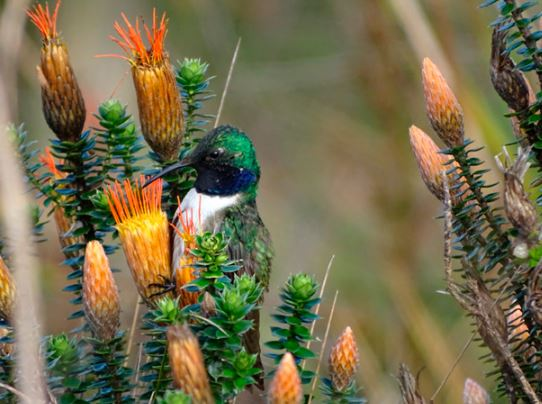 Nueva especie de colibrí descubren en Ecuador y está en peligro crítico de extinción