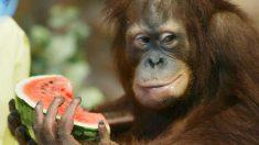 Hoy las frutas tienen tanta azúcar que los animales en los Zoo padecen caries y obesidad