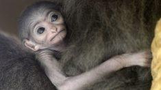 Adorable momento en que este gibón de solo 2 días de nacido es acurrucado por su madre