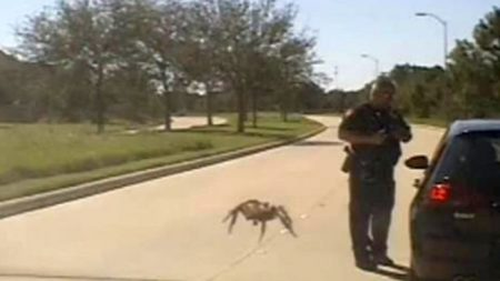 Video: araña 'gigante' se arrastra hacia un policía de Texas durante una parada de tráfico