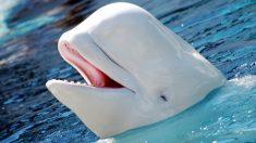 Cancelan festival de fuegos artificiales en el Támesis porque ballena belga se ha encariñado con el lugar