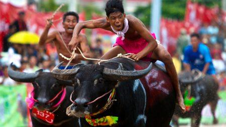 Carrera de búfalos: 140 años de tradición marcan el inicio de las cosechas