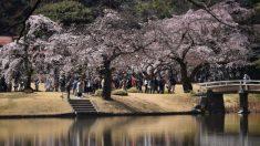 Después de los tifones, Japón amanece asombrado con sus famosos cerezos florecidos 6 meses antes