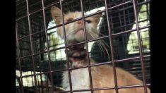 Rescatista salva a un gatito de un collar tan ajustado que estaba inserto en su piel