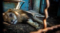 """Animales abandonados están a punto de ser rescatados del """"peor zoológico de Europa"""""""