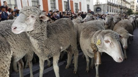 Cientos de ovejas trashumantes toman el centro de Madrid como hacían 600 años atrás