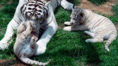 Zoo de Perú celebra llegada de 3 cachorros de tigre blanco de Bengala en peligro de extinción