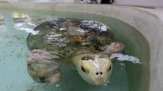 """Tortuga mutilada por perros se convierte en """"embajadora"""" de programa de conservación en México"""