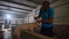 La escasez de soja en China puede causar que millones de cerdos pasen hambre