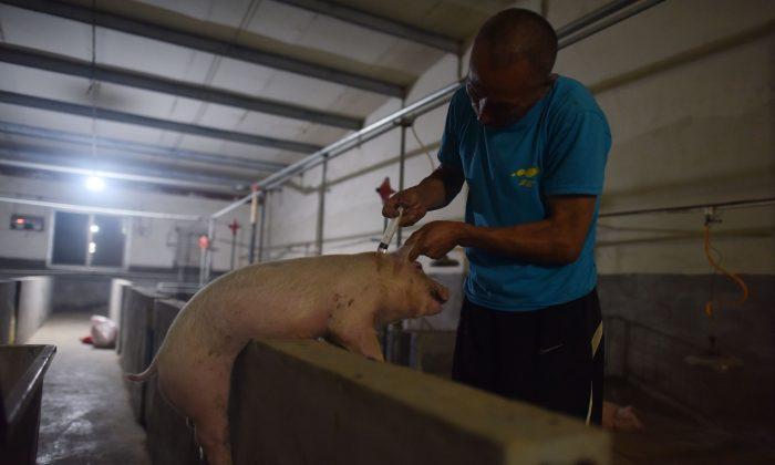 Esta foto muestra a un trabajador vacunando a un cerdo en una granja porcina del condado de Yiyang, en la provincia china de Henan, el 10 de agosto de 2018. (GREG BAKER/AFP/Getty Images)