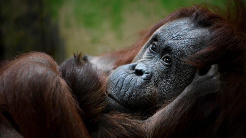 Los orangutanes de Borneo están en la Lista Roja de la Unión Internacional para la Conservación de la Naturaleza (UICN) como animales en peligro crítico. (Foto de Eric FEFERBERG / AFP) (El crédito de la foto debe ser ERIC FEFERBERG/AFP/Getty Images)