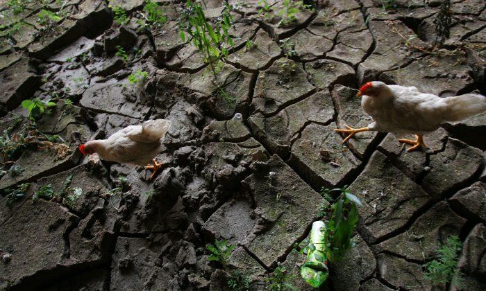 Pollos buscando alimento en el lecho seco de un río en el condado Qijiang, ciudad Chongqing, el 26 de agosto de 2006. (China Photos/Getty Images)