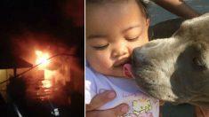 Pit bull salva a su familia de las llamas e intenta llevar a un bebé de 7 meses a un lugar seguro