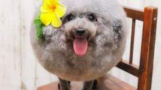 El excéntrico peinado afro de esta dulce perrita se lleva todos los likes de las redes