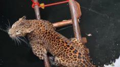 Rescatistas se movilizan para liberar leopardo de morir en un pozo de 9 metros