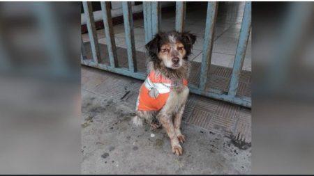 "De la calle a un hogar: la historia de la perrita callejera que ""trabajaba"" recolectando basura"