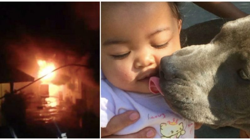 Pitbull salva a su familia de las llamas e intenta llevar a un bebé de 7 meses a un lugar seguro