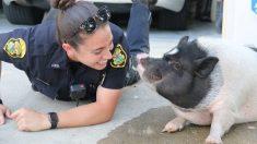 """Cerdo perdido se hizo amigo de una policía que respondió a una llamada de """"animal suelto"""""""