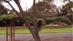 Una urraca y un koala son filmados mientras disputan un árbol en la Universidad Deakin, Australia