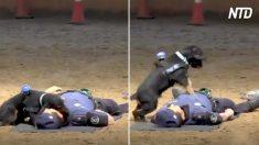 Mira la versión canina de RCP de este tierno perrito policía que ya se robó millones de corazones