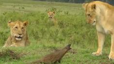 Mira cómo este valiente animalito enfrentó a un temible grupo de leonas y vivió para contarlo