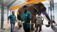 India abrió su primer hospital para elefantes: ya tiene 23 pacientes muy mimados