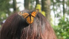 El valor incalculable del viaje de la mariposa monarca hasta llegar a México