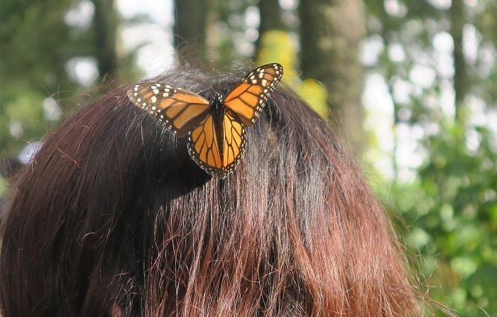 Huyendo de las fuertes heladas de Canadá y Estados Unidos, las mariposas monarca realizan un viaje de 4.200 kilómetros en el que polinizan millones de flores hasta llegar a los bosques de México, brindando un servicio invaluable al planeta entero. EFE/Enrique Corte/Fondo Mundial para la Naturaleza/SOLO USO EDITORIAL