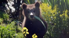 En México un oso silvestre se hace amigo de un pueblo, le dan aventón y visita las tiendas