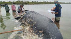 Hallan ballena muerta con 115 vasos plásticos y 1000 trozos de cuerda en el estómago