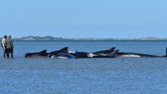 145 ballenas mueren después de encallar en Nueva Zelanda: hubo que sacrificar a las vivas