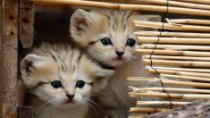 Revelan increíbles imágenes del desconocido y adorable gatito de arena del Sahara