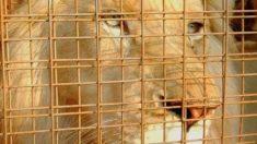 Un raro león blanco está a punto de ser vendido para que le dispare algún cazador de trofeos