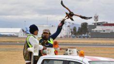 Dos halcones vigilan cada día el aeropuerto de Ciudad de México evitando accidentes