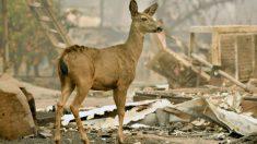 Desgarradora lucha por salvar animales atrapados en medio de incendios en California