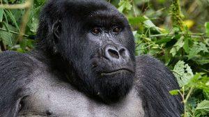 Los gorilas de montaña regresan del borde de la extinción, ahora quedan más de 1000