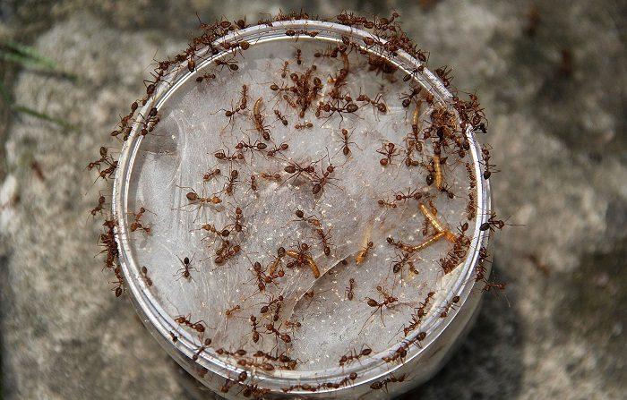 Las hormigas entran en un tarro que se utiliza para la cría. Los criadores pueden producir 300 libras de huevos y cientos de miles de hormigas por mes. (Foto de Nurcholis Anhari Lubis/Getty Images)