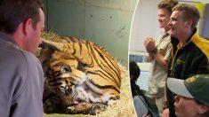 Una tigresa de Sumatra resucita a uno de sus cachorros en un emocionante nacimiento en un zoológico