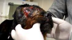 Esta es Lucy, después que fue brutalmente golpeada y abandonada hasta casi morir de inanición