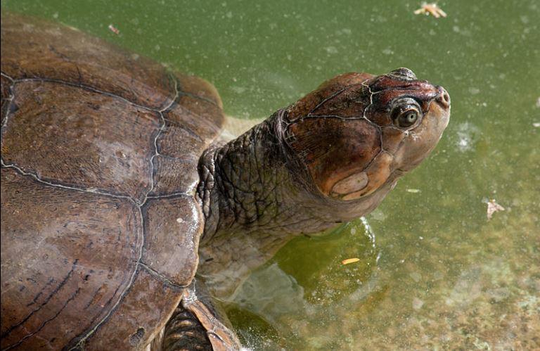 Tartaruga da amazônia (Wikimedia)